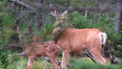Deer Family 2 Stock - stock footage