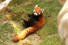 Red panda playing Stock Photos