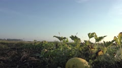 Squash pumpkins growing in grass in garden, outdoors, greenhouse, agriculture Stock Footage