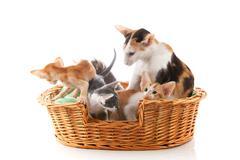 Little Siamese kittens and mother cat Kuvituskuvat