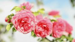 Rose Flower blooming. This and similar videos in my portfolio 1920x1080 Stock Footage