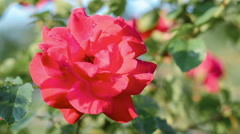 Red rose. This and similar videos in my portfolio 1920x1080 Stock Footage