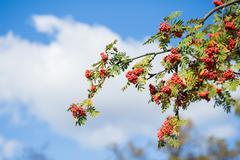 rowan tree - stock photo