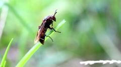 Wasp climbing a blade of grass - stock footage