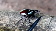 Rhinoceros beetle, Rhino beetle,Fighting beetle Stock Footage