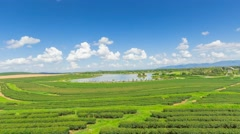 Tea plantation in Thailand. Stock Footage