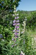 Wildflower fields of purple lupine along a trail Stock Photos