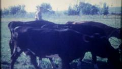 2616 - rancher rounds up the dairy cattle - vintage film home movie - stock footage