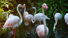 Flamboyance of Flamingoes Wading in a Pond at a Bird Park - stock footage