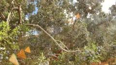 Juniper berries utah desert plant outside Stock Footage