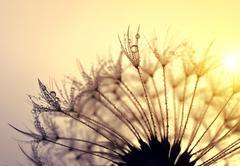 Stock Photo of Dewy dandelion flower
