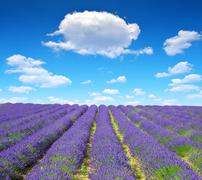 Lavender flower blooming scented fields in Provence Stock Photos