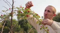 Fruit rosehip collects people Stock Footage