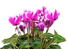 pink flower cyclamen - stock photo