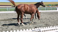 Trakehner breed and Polish mongrel horse in paddock Stock Footage