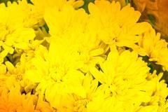Beautiful golden chrysanthemum flowers pattern - stock photo