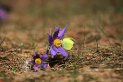 Spring purple wild forest flower pasqueflower close up - stock photo