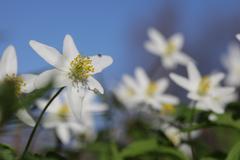 Flowers Anemone nemorosa closeup against blue sky Stock Photos