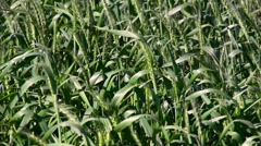 Cropped close-up of unripe wheat stalks waving in the wind. Stock Footage