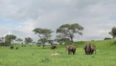 African elephants eating in the lush green savannah Arkistovideo