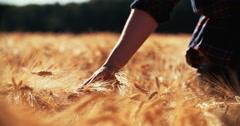 Farmer walking in wheat field touching the heads of corn Stock Footage