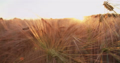 Wheat stalks catching golden rays of the sunset - stock footage