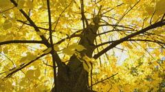 Golden autumn foliage Stock Footage