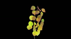 Time-lapse of drying Aspen leaves in RGB + ALPHA matte (720p) - stock footage