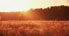 Tranquil wheat field with colourful sunflare at sunset - stock footage