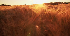 Tranquil image of golden wheat at sunset Stock Footage