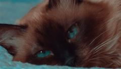 Ultra close-up of a female siamese cat with moving deep blue eyes Stock Footage