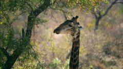 Giraffe seeming to look at the camera in African bush Stock Footage