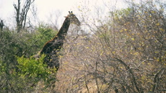 Giraffe walking and eating leaves in the African bush - stock footage