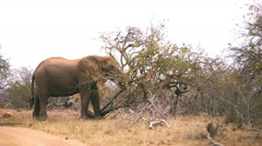 Large African elephant in it's natural habitat of thick bush - stock footage