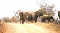 Herd of African Elephant in the Bush Stock Footage