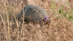 Lonesome tortoise walking 4k Stock Footage