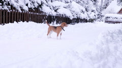 Beagle dog walk on the snowy mountain village roads Stock Footage