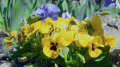 Viola tricolor flowers in the garden Stock Footage