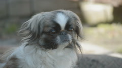 Japanese Chin or Japanese Spaniel Stock Footage