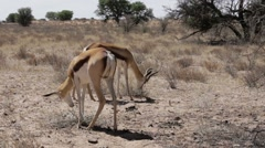 Portrait of springbok antelope grazing in kgalagadi national Park, Namibia Stock Footage