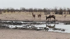 Common tsessebe (Alcelaphus buselaphus) on waterhole Stock Footage