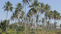 Group of palm trees,Pangandaran,Java,Indonesia Stock Footage