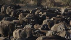 Buffalo heard at watering hole, Close up - Slow Motion Stock Footage