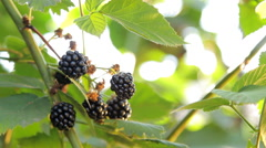 Growing Blackberries Well-Lit with Sun Stock Footage