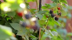 Watering Blackberry Bush Stock Footage
