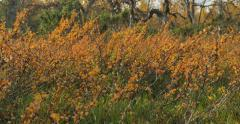 motorized dolly shot of blueberry shrubs in autumn colors - stock footage
