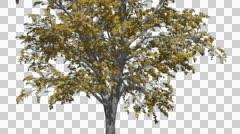 European Linden Chromakey Tree Fall Autumn Chroma Key Alfa Alfa Channel Swaying Stock Footage