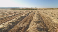 Following Pointer pedigree dog in cultivated wheat field Stock Footage