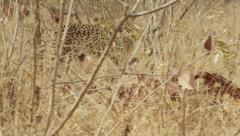 Stunning Tracking shot of a Cheetah Walking (3) - Slow Motio Stock Footage