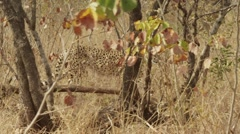 Stunning Tracking shot of a Cheetah Walking (4) - Slow Motion Stock Footage
